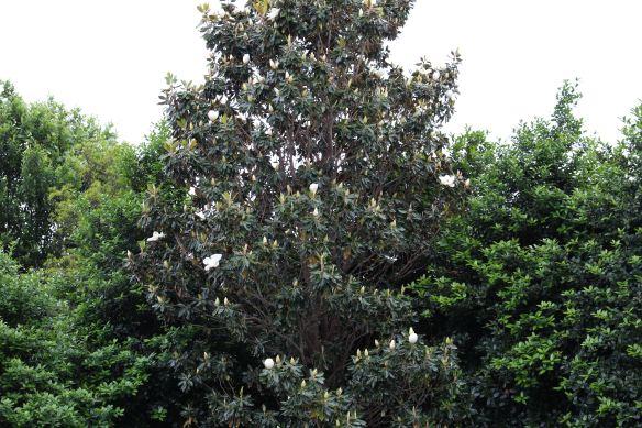 Magnolia tree ready to bloom