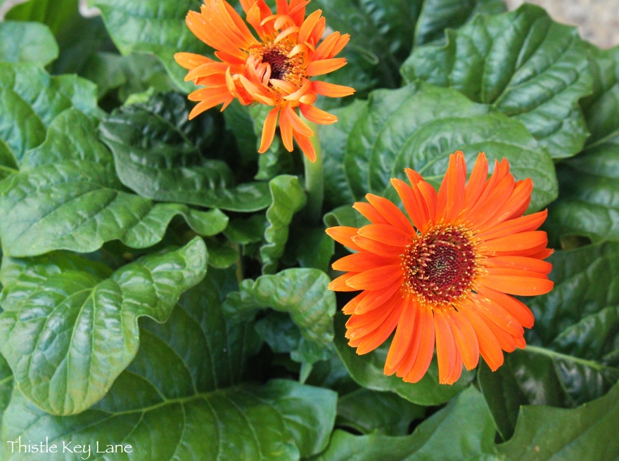 Gerber daisy adds a pop of color