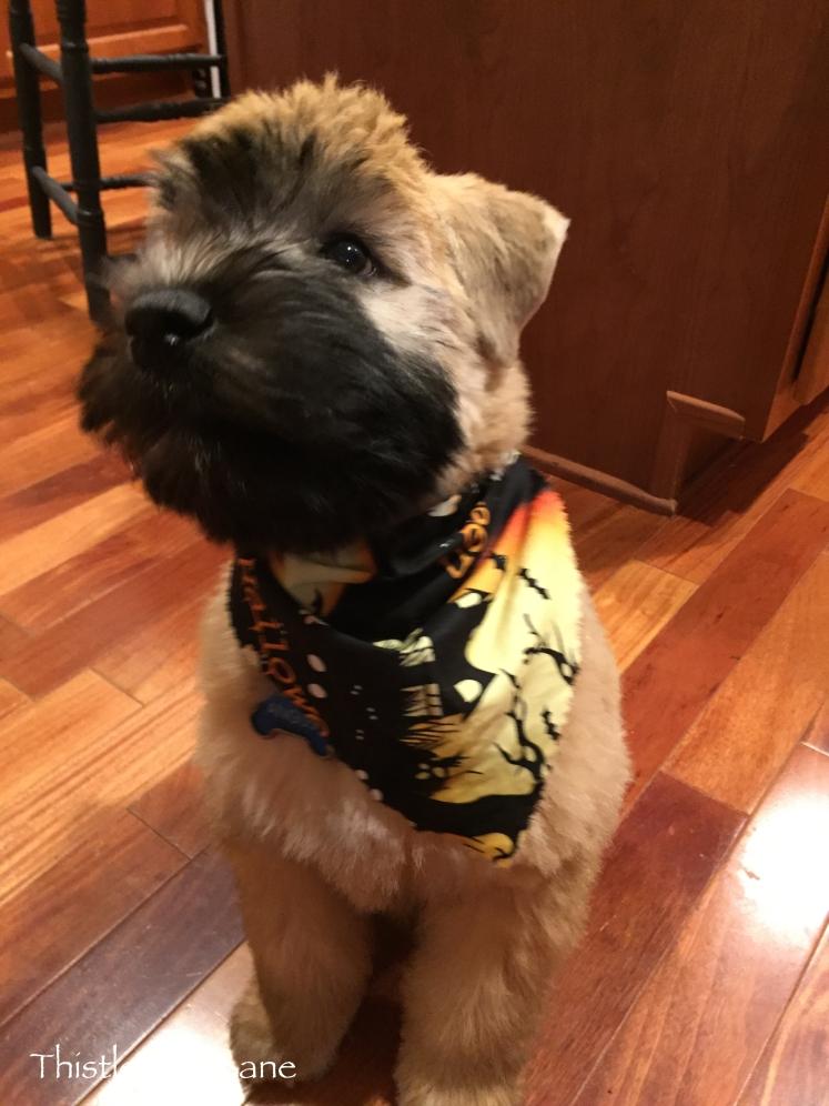 Angus in his Halloween bandana