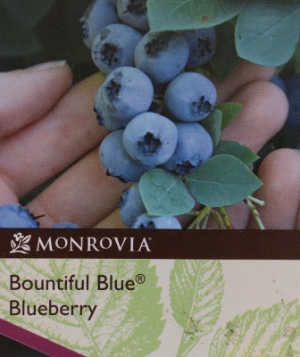 Blueberry variety Bountiful Blue
