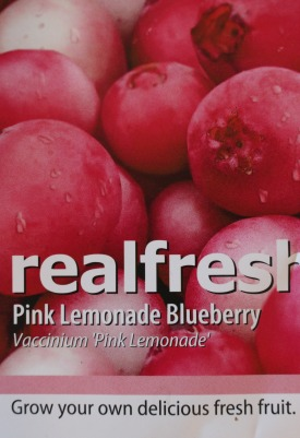 Blueberry variety Pink Lemonade