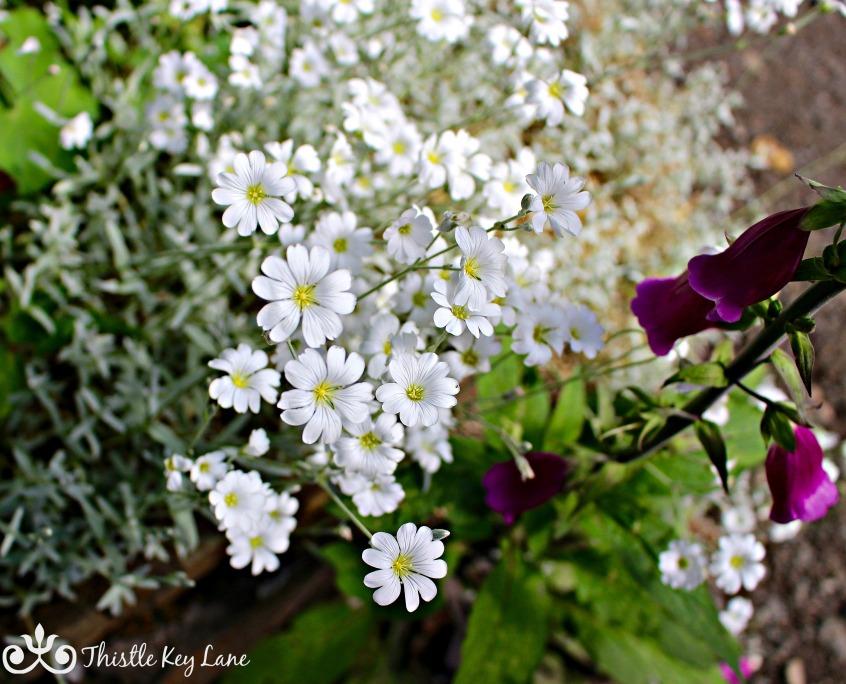 Delicate White Dunvegan Castle Gardens