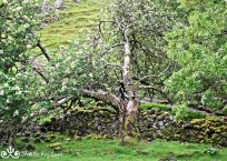 Magical old tree in the Fairy Glen