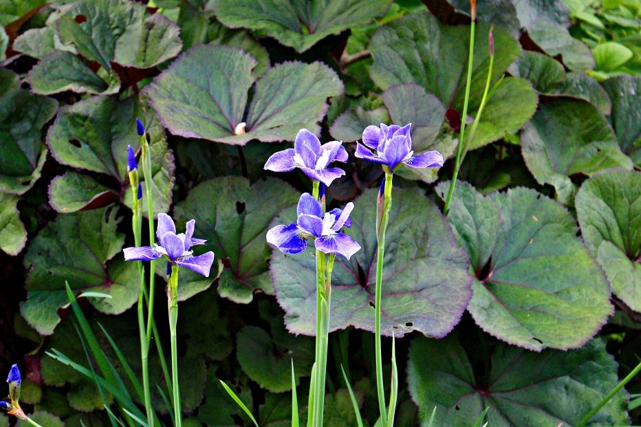 Iris Dunvegan Castle Garden