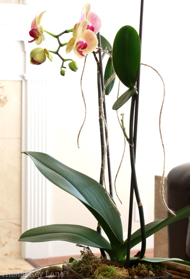 Orchid - House Plants and Succulents